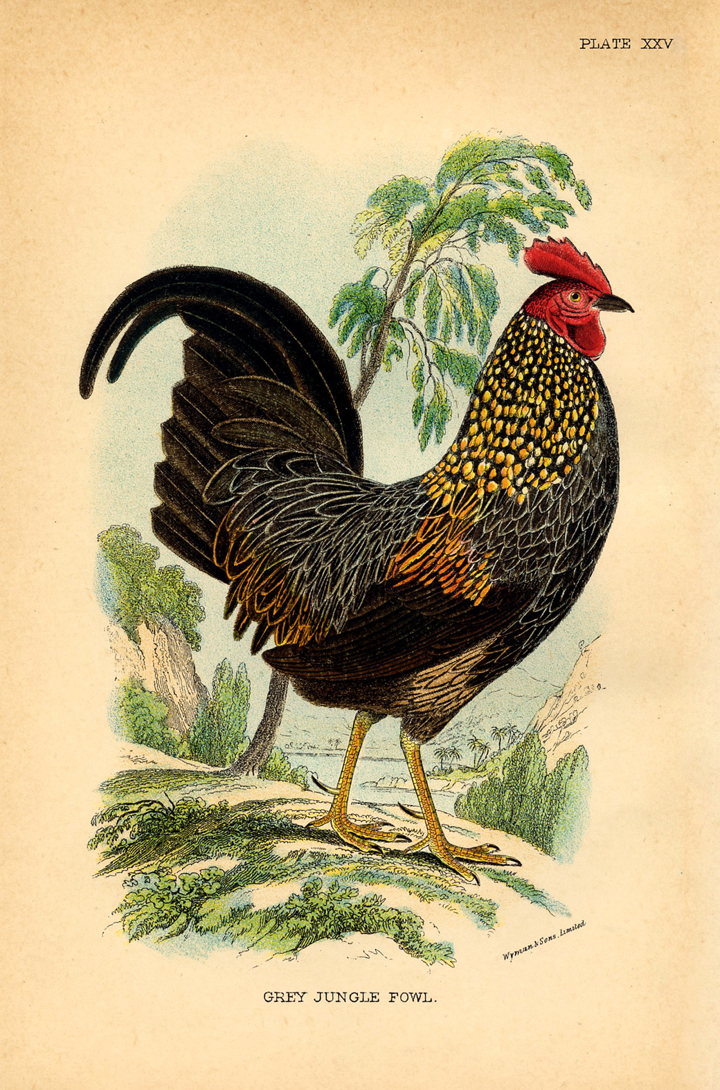 rooster vintage image graphicsfairy008sm