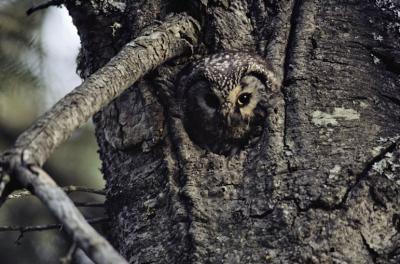 owl-horizontal