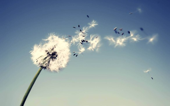 Dandelion Flowers Wallpapers 05