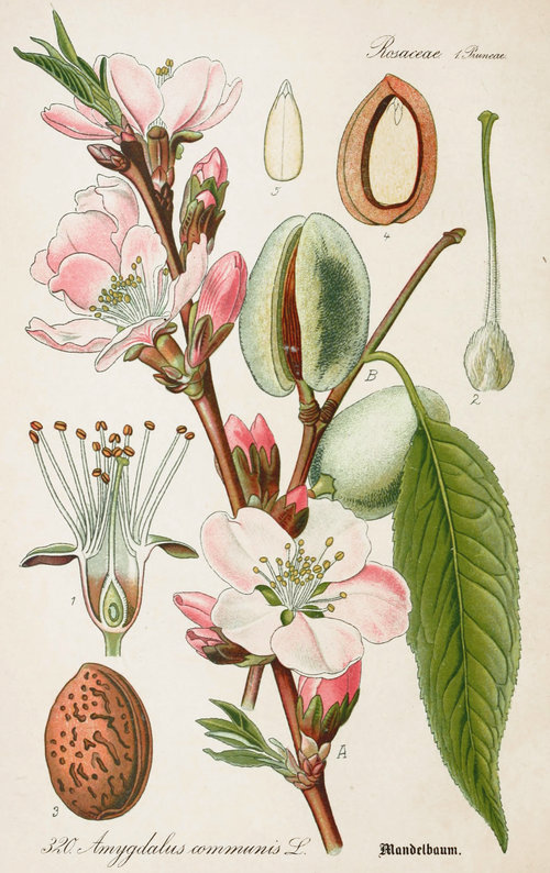 rsz_almond-antique-botanical-illustration-from-flora-of-germany-circa-1903